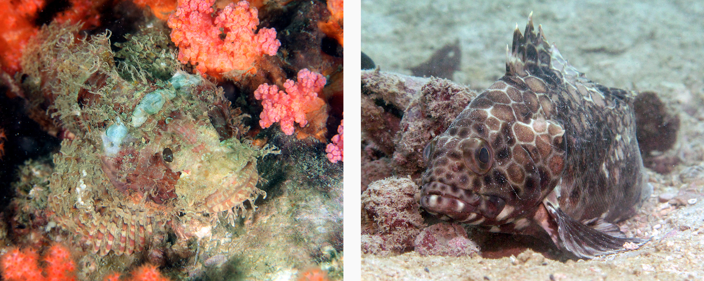 Left: False kelpfish. Right: Longfin grouper