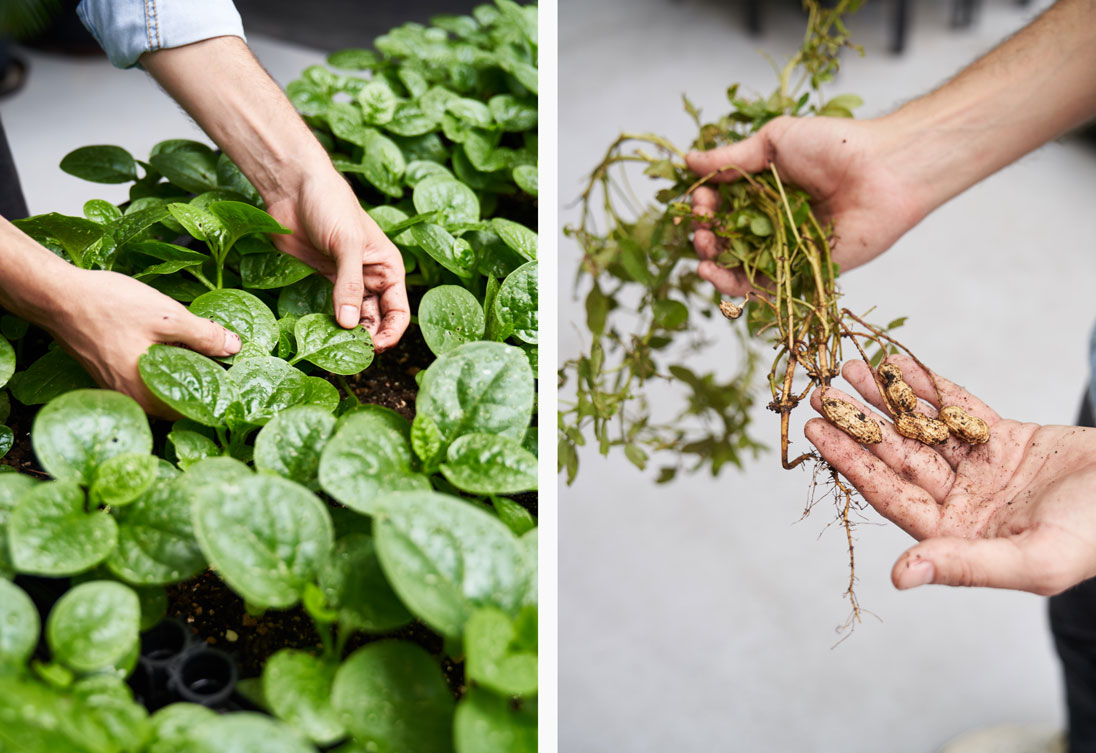Rooftop Republic's farm at Swire Properties' The Loop